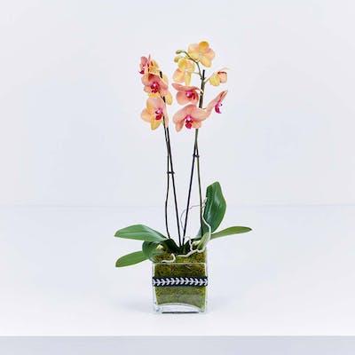 Golden Choice Phalaenopsis