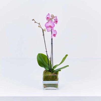 Pink Stripe Phalaenopsis