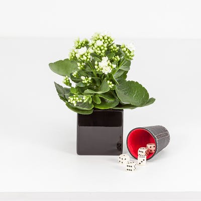 Winter Plant Dice Set